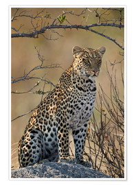 Póster Premium  Leopard perched on its rock - James Hager