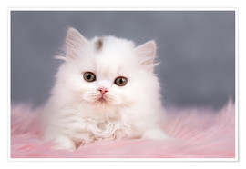 Póster Premium British longhair cat baby in white