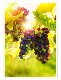 Póster Premium Bunch of black grapes on the vine